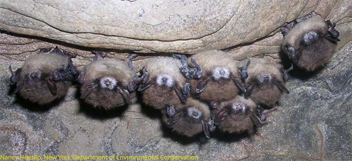 White-nose syndrome in New York